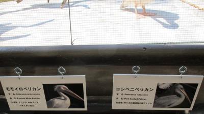 鳥羽水族館 ペリカン