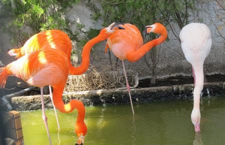 鳥羽水族館 フラミンゴ
