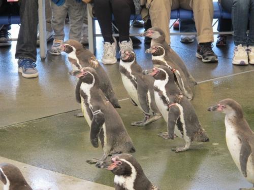 ペンギンお散歩