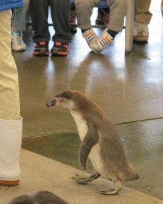 鳥羽水族館 ペンギンお散歩