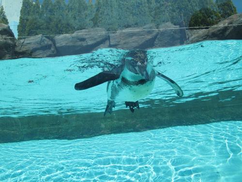 鳥羽水族館 フンボルトペンギン