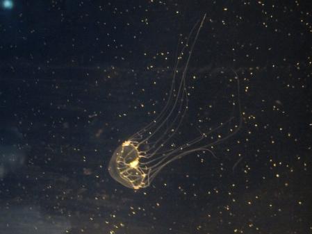 ギヤマンクラゲ