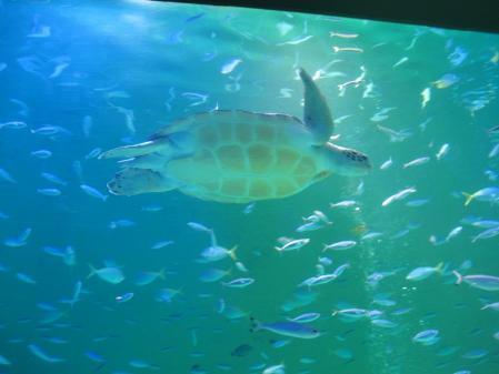 鳥羽水族館 ウミガメ