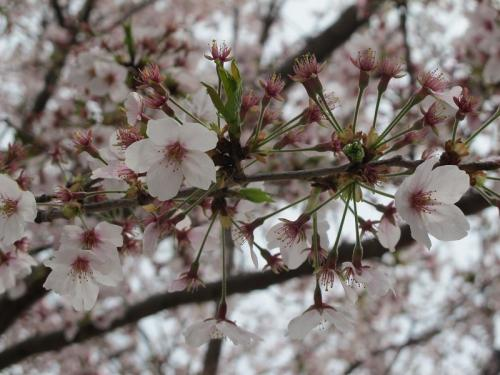 長島スパーランド 桜