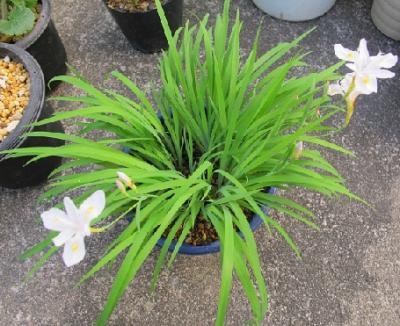 白花ヒメシャガ