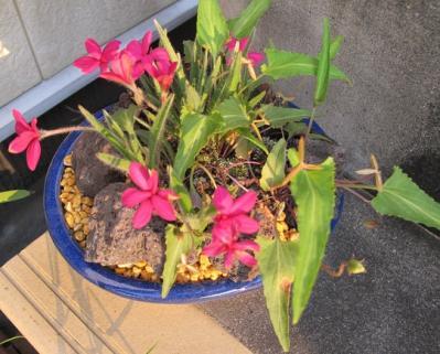 ロードヒポキシス(アッツ桜)と菫