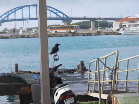 石垣島のカラス