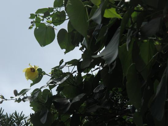 オオハマボウとルリジガバチ
