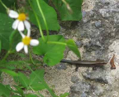 キシノウエトカゲ幼体?