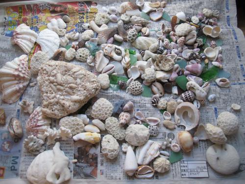 ペムチ浜での収穫