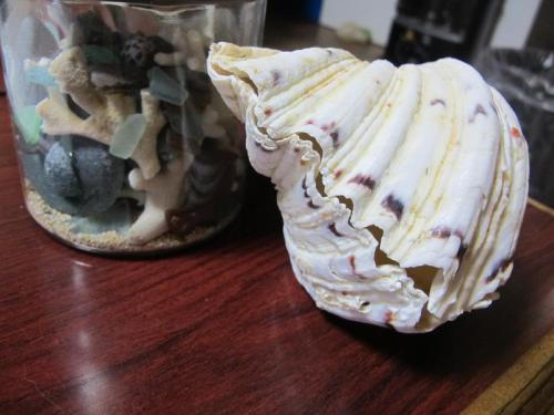 シャゴウガイとビーチグラス