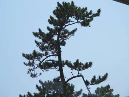 松の木にトンビ
