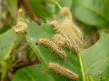 チャドクガ幼虫P1170248