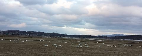 白鳥20140129_163429