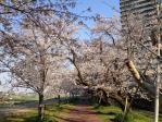 20120409桜