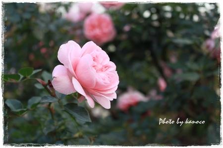 ピンクバラ450