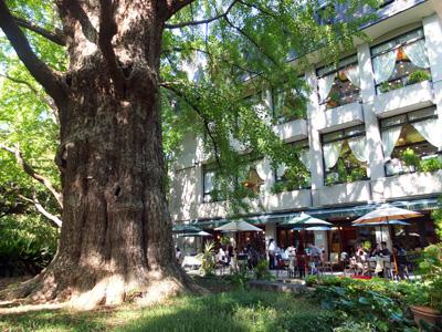 日比谷楼 銀杏の大木