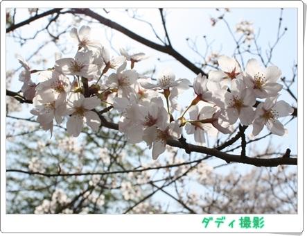 IMG桜6285