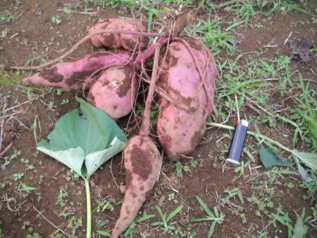 サツマイモ収穫(ハルちゃん)