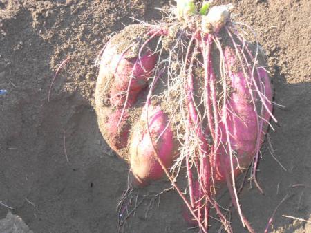 サツマイモの収穫(ハルちゃん)