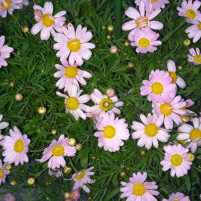 おばばちゃんの花