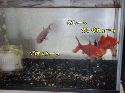 金魚は食欲旺盛に・・
