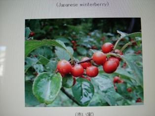 梅もどき 39