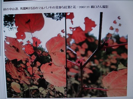 丸葉の木2