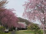 シダレサクラの並木