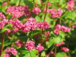 赤いソバの花
