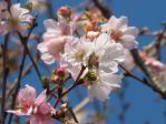 桜も咲いている