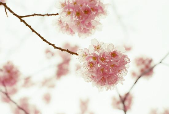 sakura_20120328215359.jpg