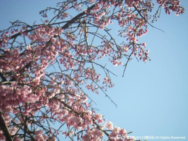 こrふぇ、なんて名前の桜だ?