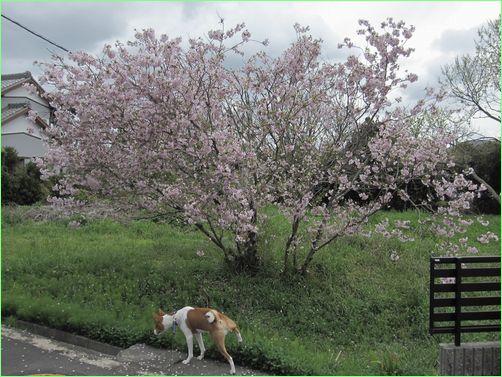 ピンクが濃くてきれいな桜でした。