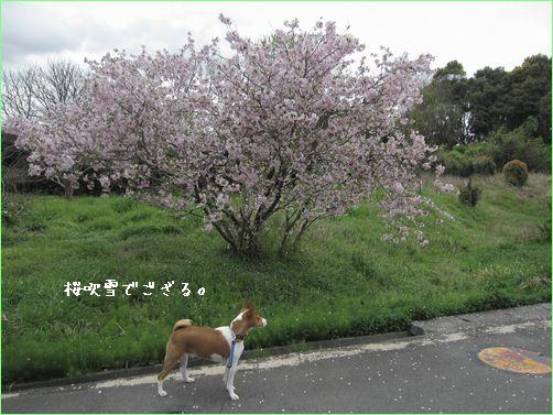 桜にも種類がいっぱいあるんですね。