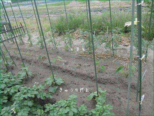今日の野菜たち。