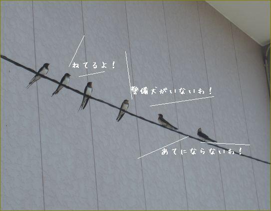 電線に30羽ぐらいとまっています。