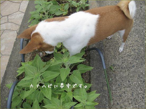 花壇を荒らしまくっておりまする。