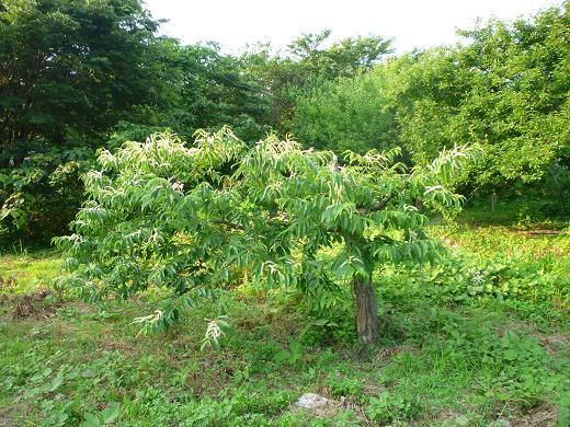 栗の木再生2011.06-1