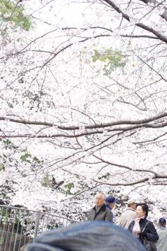 旦那の頭上の桜