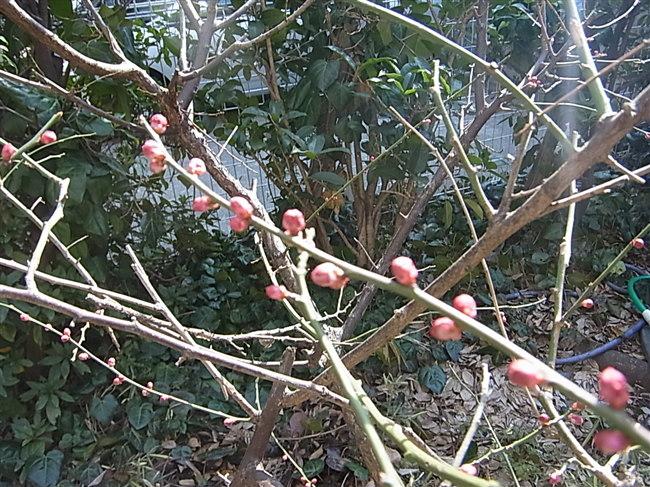 2月24日の庭の梅