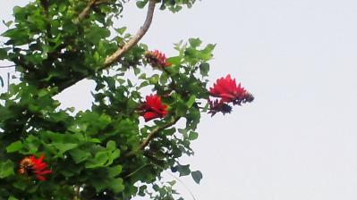 デイゴ花2