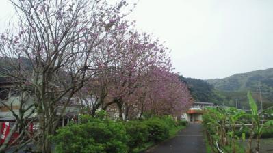 ムラサキ ソシンカの木