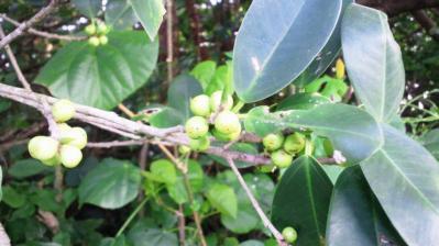 ガジュマル豆2