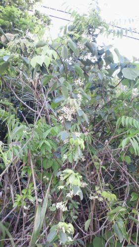 アケビの花2