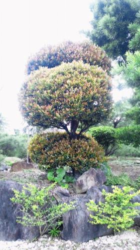 ボンボリの盆栽=№2