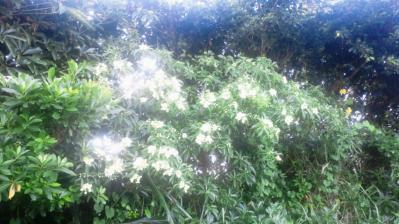 イジュの花1