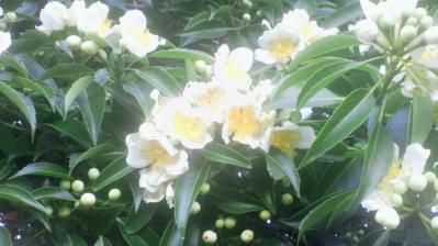イジュの花2