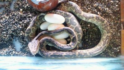 2011.7.12=ハブの抱卵2