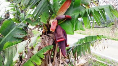 バナナの花1